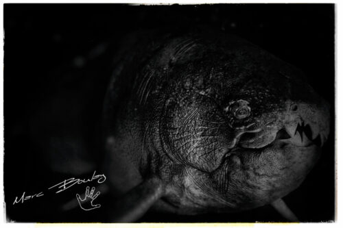 DUNKLEOSTEUS-(c)-Marc-Boulay