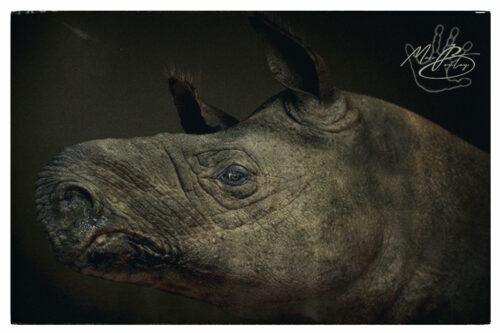 Diaceratherium_Montier-en-Der(c)MarcBoulay