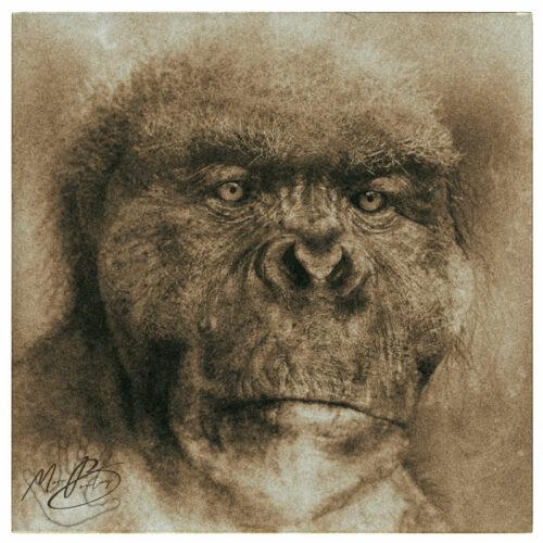 Gigantopithecus (c) Marc Boulay