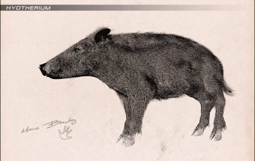 Hyotherium-03-(c)-Marc-Boulay