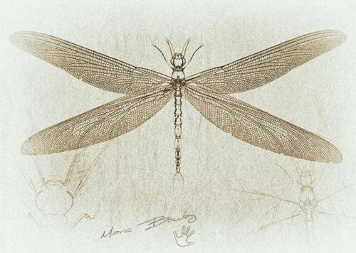 Meganeura-00a(c)MarcBoulay
