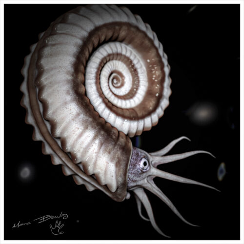ammonite-(c)-Marc-Boulay